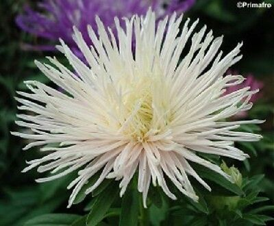 30 WHITE NEEDLE ASTER Callistephus Unicom Flower Seeds *Comb S/H + Free Gift