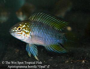1 1 pair apistogramma borelli opal dwarf cichlid tr for The wet spot tropical fish