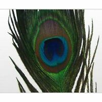 10 x LONG Natural Peacock Eye Feathers 25 - 35 inch (SECONDS).  FREE Postage!!