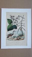 Gravure en couleur XIXè s. Cassumunar. Catalpa. Caurale. Botanique. Ornithologie