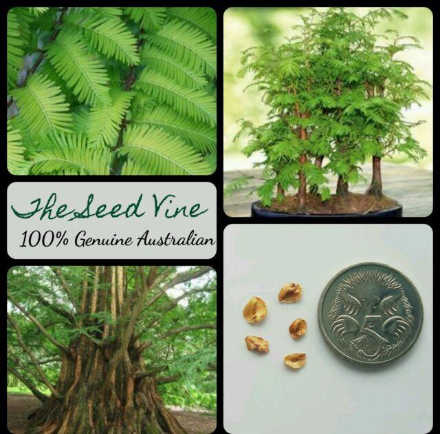 30 Dawn Redwood Tree Seeds Metasequoia Glyptostroboides Evergreen Bonsai For Sale Online