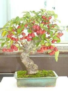 Malus sylvestris-Bonsai 30 Samen-Sow Alle Jahr