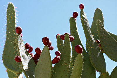 Nopal Prickly Pear 20 Seeds Cow Tongue Cactus Opuntia engelmannii linguiformis