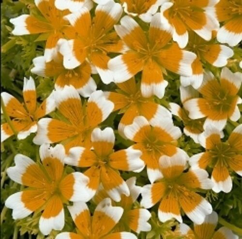 Limnanthes douglasii - 100 graines