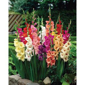 50-Gladioli-Giant-Flowering-Mixed-Colours-Summer-Garden-Perennial-Flower-Bulbs