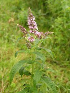 10-000-Samen-Mentha-longifolia-Rossminze-saatgut