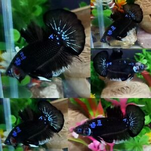 Black Blue Star Halfmoon Plakat Male-IMPORT LIVE BETTA FISH FROM THAILAND