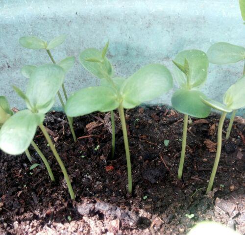 Blue Butterfly Pea 50//100 Seeds Clitoria Ternatea Vine100/% new Organic Sri Lanka