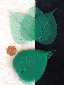 25-Green-Kelly-Emerald-leaves-Po-Bo-Banyan-Skeleton-leaf-see-through-Veins-Small