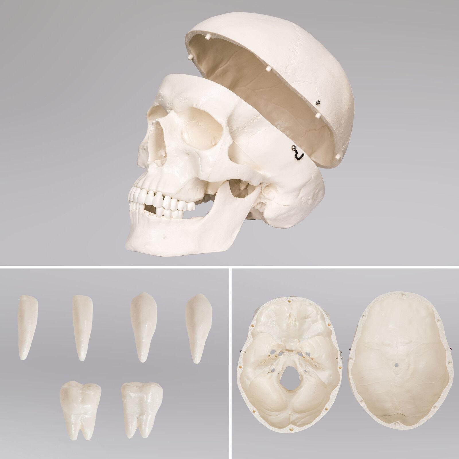 Menschliches Stativ Skelett Anatomie Lehrmodell | eBay