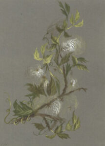 Old-man's Beard (Clematis) Rocky Mountains Flower – 1882 watercolour painting
