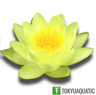 Chromatella nymphaea yellow water lily Pond plants water lilies koi aquatic