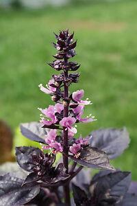 BASILIKUM  DARK OPAL 100 Samen Ocimum Basilicum v.Purpurerum Violettes Basilikum