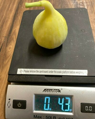 5 Yellow Long Neck Fig Cuttings