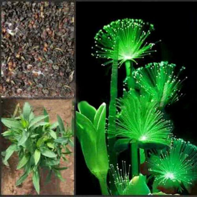 100Pcs Rare Emerald Fluorescent Flower Seeds, Night Light Emitting Plants New