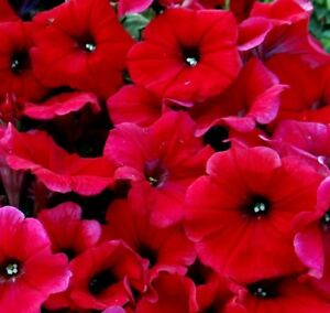 Image Is Loading Large Flowered Red Petunia Pots Planters Bedding
