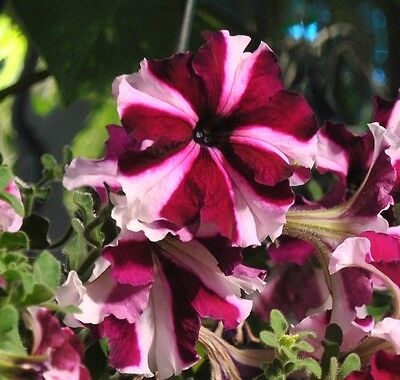 Petunia Express Crimson Star - 50 Pelleted seeds - Annual