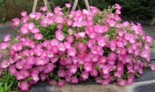 Free Gift /& Comb S//H 250 MIXED COLORS PETUNIA Flower Seeds