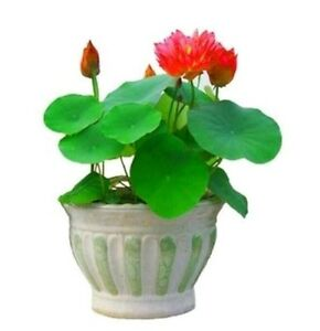 Bonsai Rare Red  Lotus 5 Seeds, rare seeds, high germination, Free shipping