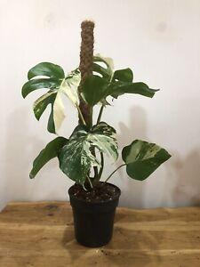 VARIEGATED-MONSTERA-RAFFLE-FULL-PLANT