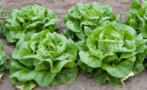 "en lot de 500 graines mini LAITUE POMMEE /""Bon Jardinier/"" Lactuca sativa"
