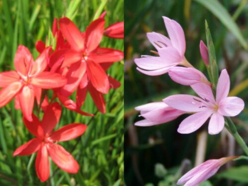 LUCKY DIP Hesperantha coccinea 4 Red or Pink Kaffir Lily Hardy BARE ROOT