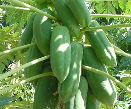 20 Graines de Papaye Sweet Khak-Barrage Heirloom Fruits Thai