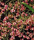 ONCIDIUM TWINKLE 'PINK PROFUSION', MINIATURE ORCHID, SHIPPED IN 2 1/2
