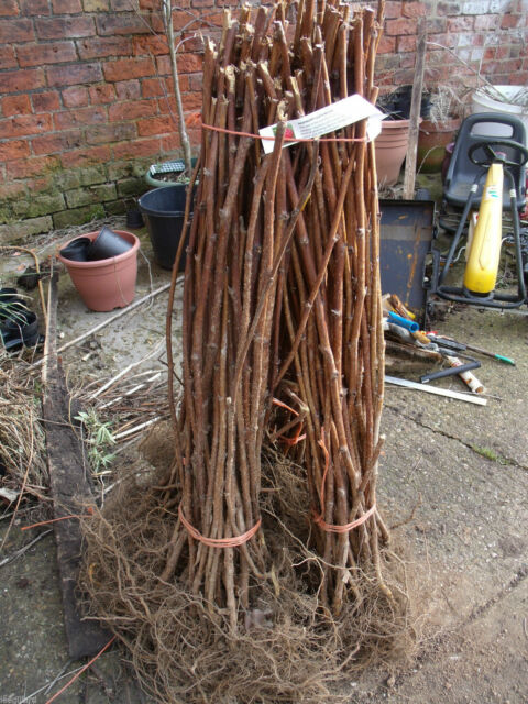 6 x Raspberry canes long canes ready to fruit this year Choice of varieties