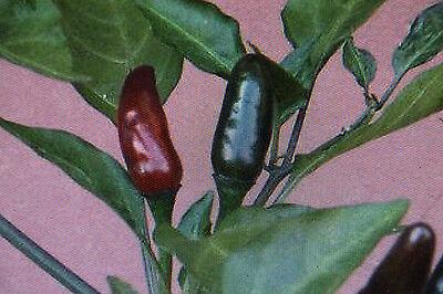 Royal Black Chili 10 Samen SCHWARZER KÖNIG!