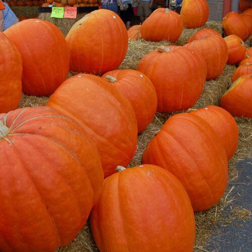 Pumpkin Seeds BIG MAX Orange Skin with Bright Orange Flesh Bulk- 100+ Seeds