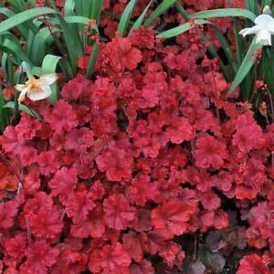 Heuchera x Hybrida 'Cherry Cola' Perennial Large Plug Plants Pack x6