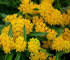 BUTTERFLY-WEED-HELLO-YELLOW-Asclepias-Tuberosa-2-500-Bulk-Seeds