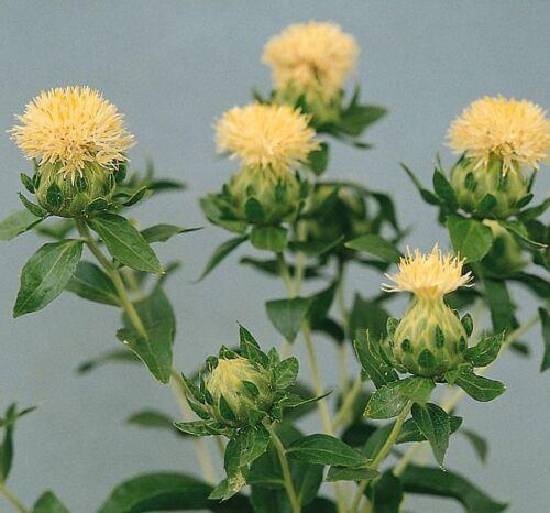 50 Samen Saffron Blumen Carthamus Tinctorius Weiß Granate