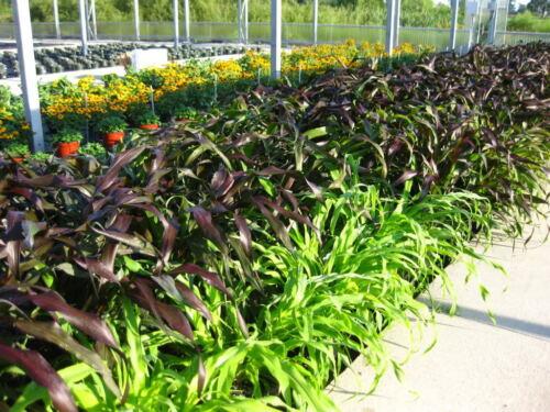25 RED JEWEL MILLET Setaria Italica Ornamental Grass Flower Seeds *Comb S//H