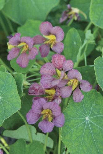 Capucine Violet Empereur 30 Graines Tropaeolum
