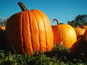 Pumpkin-seeds-Vitamin-Ukraine-Heirloom-Vegetable-Seeds