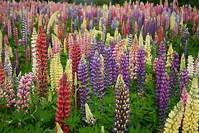 Russell Lupine Seeds Variety Sizes Sold Lupinus polyphyllus Mixed Colors