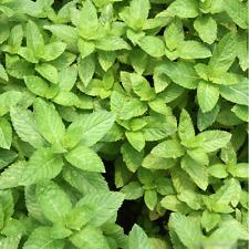 Hot 500Pcs Spearmint Seeds Mint Mentha Herb Green Home Garden Flower Plant BD14