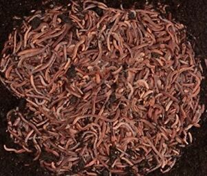 250 Live European Nightcrawlers Composting and Fishing Worms FREE FEDEX 2-DAY