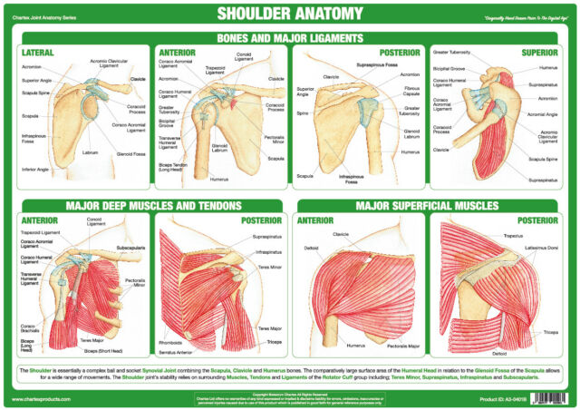 Shoulder Anatomy Poster Muscles Tendons Bones Physio ChartEx Joint ...