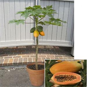 30pcs-Fresh-Dwarf-Papaya-Fruit-Seeds-Very-Sweet-Organic-Fruit-Garden-Bonsai