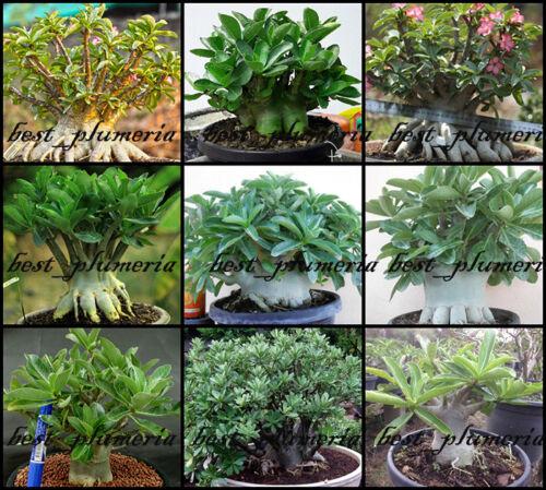 """Adenium Arabicum  /"""" Mixed 9 TYPES /"""" 500 Seeds!!!"""