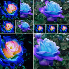 100x Blue-Pink Rose Flower Seeds Home Garden Plants Rare Rose Bush Free shipping