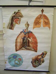 Alte Anatomie Lehrtafel Atmungsorgange Vintage DEKO Wandkarte Rollkarte antik