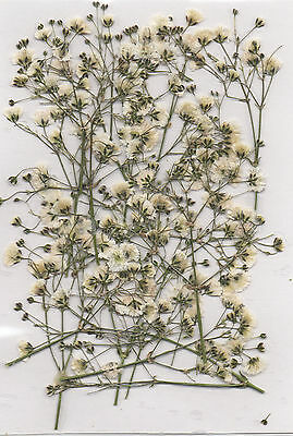 PRESSED FLOWERS15 SMALL SPRAYS OF WHITE GYP IDEAL FOR CARDMAKING & FLORAL CRAFTS