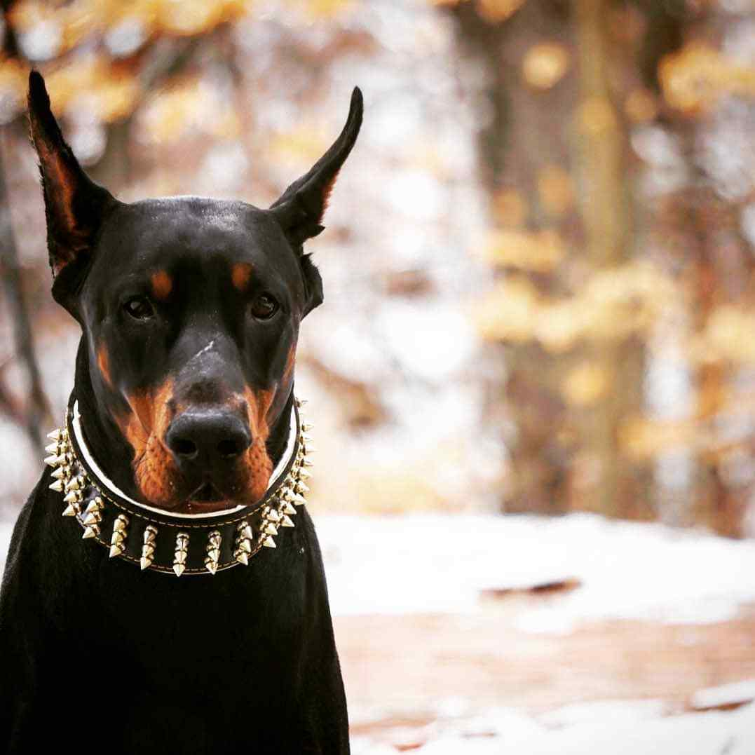 Bestia gold Giant collar. 100% Leather. WIDE. soft. SCREW Spikes. HAND MADE