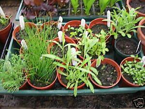 Helleborus niger Christmas Rose Flower 18 Seed