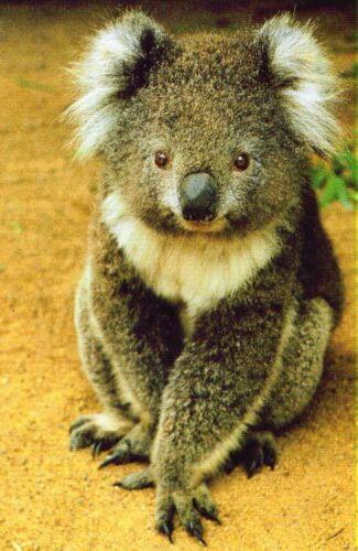 Postkarte aus Australien kleiner Koala sitzt im Sand little sitting Koala