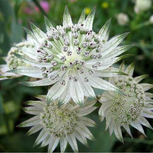 2 DIFFERENT TYPES OF ASTRANTIA  HARDY PERENNIAL PLANT SEEDS